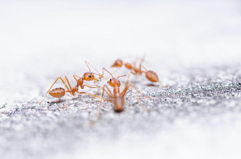 Pest-Control-auckland-Pros-Ant-Control